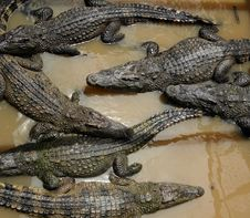 Free Bunch Of Crocodiles Stock Photography - 26709062