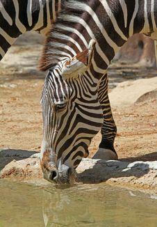 Free Zebra Royalty Free Stock Images - 26711149
