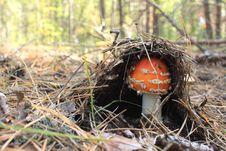 Beautiful Red Mushroom Stock Image