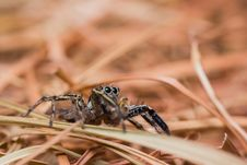 Free Plexippus Petersi Spider Royalty Free Stock Photo - 26717315