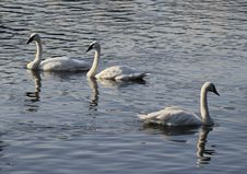 Free Three Swans Stock Photography - 26717542