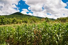 Corn Farm At Hill Side Stock Photography