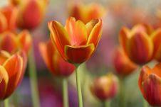 Free Orange Tulips Royalty Free Stock Photography - 26720607