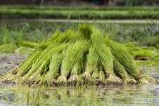 Free Rice Seedling Royalty Free Stock Images - 26720789