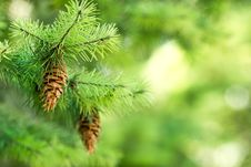 Pine Cone &x28; Pinecone &x29; On A Christmas Tree Royalty Free Stock Image