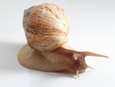 Free East African Land Snail Stock Photography - 26721752