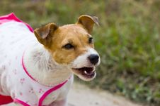 Free Close-up Of Jack Russell , 2 Year Old Stock Photo - 26721870