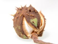 Free Single Chestnut Unfolding Royalty Free Stock Images - 26728139