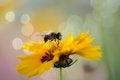 Free Honey Bee On Sweet Yellow Beautiful Cosmo Royalty Free Stock Photo - 26735165