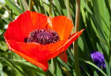 Free Red Poppy Stock Images - 26733424