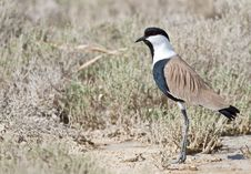 Free Spur-winged Lapwing Royalty Free Stock Image - 26733876