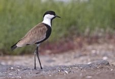 Free Spur-winged Lapwing Stock Photos - 26733913