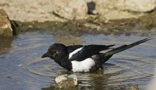 Free Magpie Bathing &x28;Pica Pica&x29; Royalty Free Stock Photography - 26733937