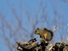 Free Squirrel Royalty Free Stock Photography - 26734047