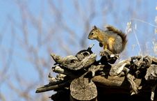 Free Squirrel Royalty Free Stock Image - 26734086