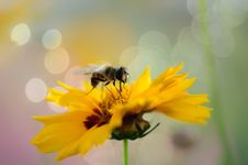 Free Honey Bee On Sweet Yellow Beautiful Cosmo Royalty Free Stock Photo - 26735165