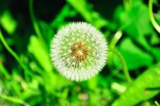 Free Dandelion On Background Green Grass Royalty Free Stock Image - 26735636