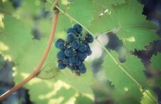 Free A Bunch Of Grapes Royalty Free Stock Images - 26736019