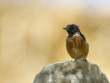 Free Stonechat Royalty Free Stock Photography - 26738467