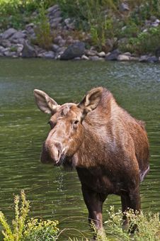 Free Moose In Water Stock Photo - 26738590