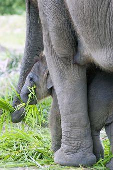 Free Baby Elephant Stock Photo - 26739270