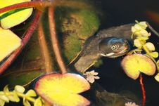 A Mossy Covered Shell Turtle Pops Out Of Duck Pond Royalty Free Stock Photography
