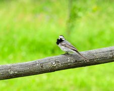 Little White Wagtail Bird Sitting On Perch Stock Photos