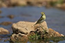 Free Willow Warbler Stock Image - 26743551