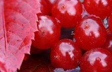Free Autumn Leaf And Viburnum Stock Photo - 26743740