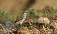 Red-backed Shrike &x28;Lanius Collurio&x29; Stock Images
