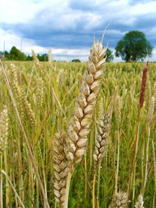 Free Close Up Of A Wheat Stock Photos - 26745093