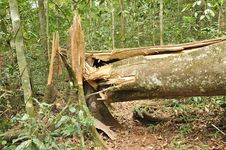 Free Broken Tree In Tropical Forest Royalty Free Stock Photo - 26746835