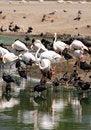 Free Flamingo Royalty Free Stock Photography - 26753947
