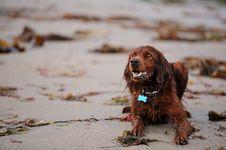 Irish Setter At The Beach Royalty Free Stock Photo