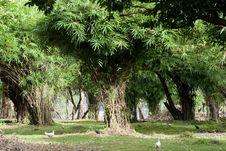Free Bamboo Grove Stock Photography - 26753672