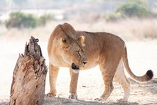 Free Lioness In The Wild Stock Photography - 26754442