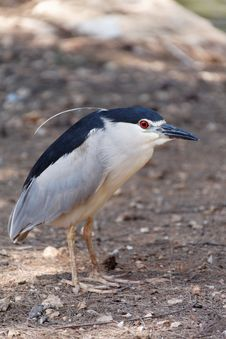 Free Black-crowned Night Heron Stock Photography - 26754612