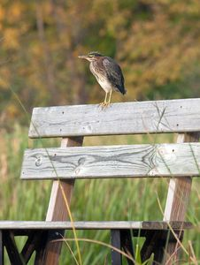 Free Green Heron Stock Image - 26755031