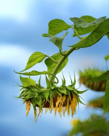 Free Withered Sunflower Stock Images - 26755894