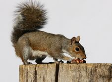Free Grey Squirrel Stock Photography - 26756722