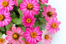 Free Pink Zinnia Flowers Royalty Free Stock Photography - 26759327