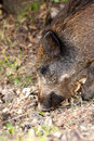 Free Wild Boar Stock Images - 26760254
