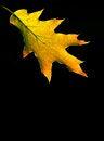 Free Red Oak Autumn Leaf Stock Photo - 26762350