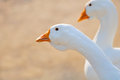 Free White Domestic Geese Close-Up Stock Photo - 26766000