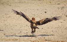 Free Eagle, Tawny - Air Under Wing Stock Photography - 26760332