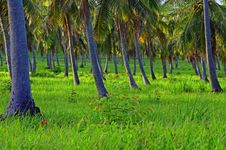 Free Coconut Plantation Royalty Free Stock Photos - 26761608