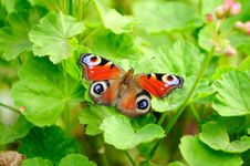 Free Peacock Butterfly On Green Pelargonium Leaves Royalty Free Stock Images - 26765979