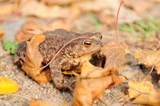 Free Common Toad &x28;Bufo Bufo&x29; Royalty Free Stock Image - 26765986