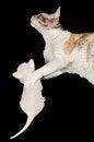 Free Cornish Rex Mother Cat Hugging Its Kitten Stock Photo - 26775230