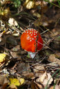 Free Fly Agaric Mushroom In A Forest . Stock Photos - 26775863